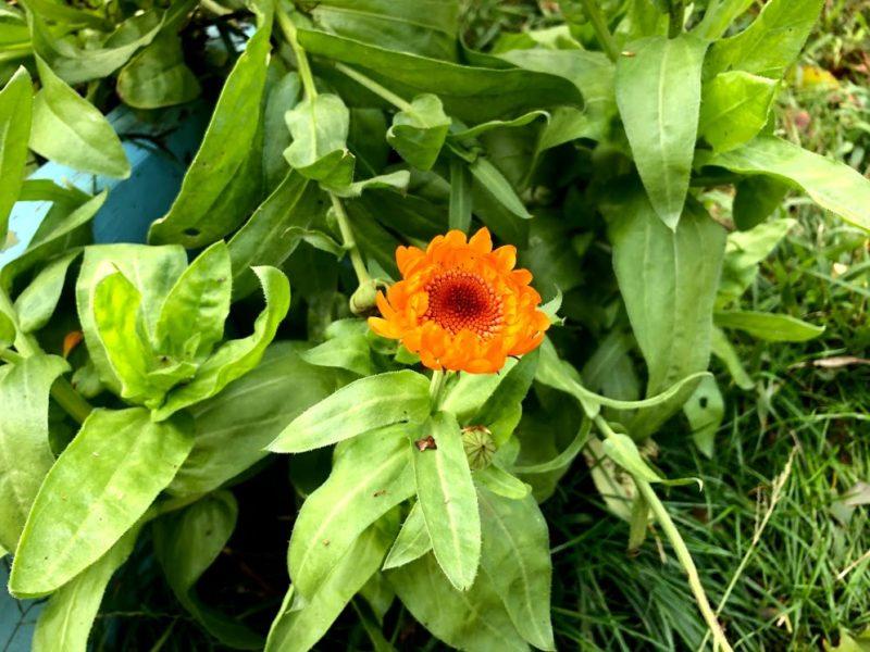 Growing, harvesting & using calendula