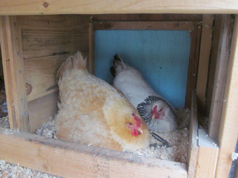 How do chicks breath inside an egg?