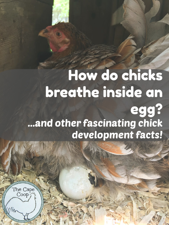 How do chicks breathe inside an egg and other fascinating chick development facts!