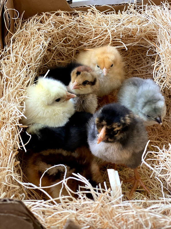 when can chicks move outside?