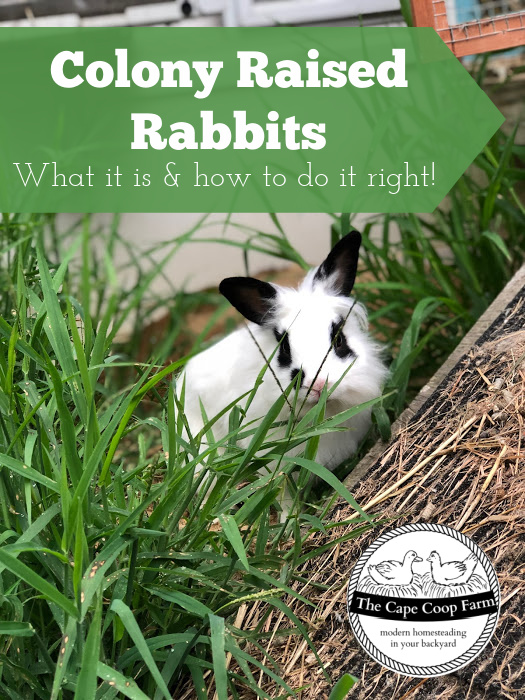 Colony Raised Rabbits - what it is and how to do it right!