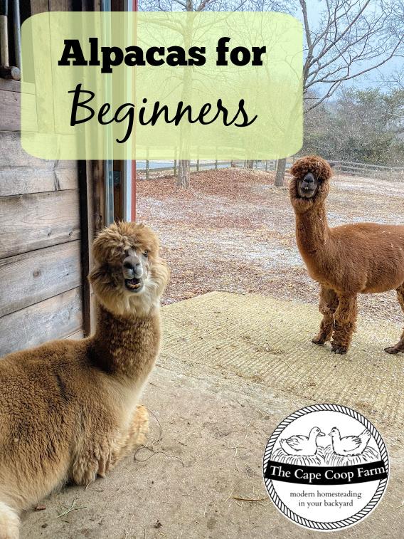 Alpacas for beginners