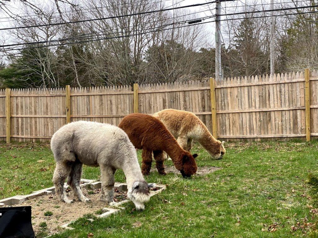 m worm in alpacas
